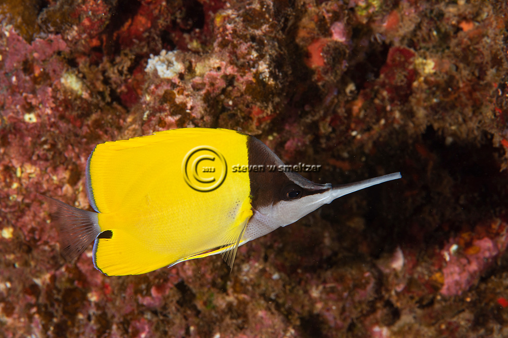 Big Longnose Butterflyfish, Forcipiger longirostris, (Broussonet, 1782), Maui, Hawaii