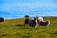 Vestmannaeyjar Islands off the south coast of Iceland. Sheep on southern part of Heimaey.