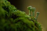 Trumpet lichen (Cladonia fimbriata) Niedersechsische Elbtalaue Biosphere Reserve, Elbe Valley, Lower Saxony, Germany | Trompetenflechte (Cladonia fimbriata)