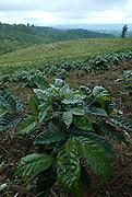 En la provincia de Chiriquí existen diferentes áreas donde se cultiva el café, estas son: Boquete, Volcán, Renacimiento. Panamá, 3 de julio de 2012. (Damian Hernandez/Istmophoto)