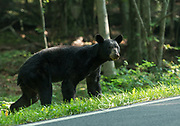 An American black bear (Ursus americanus) attempts to cross Skyline Drive, Shenandoah National Park, Virginia.