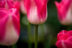 Bright pink and white tulips                        Tulipa