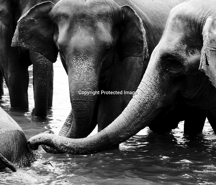 PINNAWELA, OCTOBER-3 : Elephants play in the Ma Oya river in Pinnawela, October 3, 2005, Sri Lanka,    .The Pinnawela orphanage was started in 1975 and initially designed to afford care and protection to the many baby elephants found in the jungle without their mothers. In most cases the mother either had died or been killed. .Animals are allowed to roam freely duringthe day and a herd structure allows to form. there are only a few elephant orphanges worldwide. At Pinnawela an attempt was made to simulate, in a limited way, the conditions in the wild. Currently the herd consists of 75 elephants under the surveillance of legendary  Mahout chief Sumanabanda.