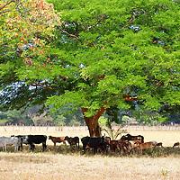 Ganado pastando a la sombra. El Hato Piñero, ubicado en los llanos centrales de Venezuela, Estado Cojedes; constituye un desarrollo que se caracteriza por el turismo ecológico, donde los visitantes pueden disfrutar de la diversidad de la fauna, las actividades ganaderas y agroindustriales. El Hato Piñero es un retiro para los amantes de la naturaleza, observadores de aves o los viajeros que simplemente buscan paz y tranquilidad. Estado Cojedes. Venezuela. Cattle grazing in the shade. El Hato Piñero, located in the central plains of Venezuela, Cojedes State; It is a development characterized by ecological tourism, where visitors can enjoy the diversity of fauna, livestock and agroindustrial activities. El Hato Piñero is a retreat for nature lovers, birdwatchers or travelers who simply seek peace and tranquility. Cojedes State. Venezuela.