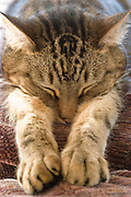 A brown tabby cat stretches while sleeping.