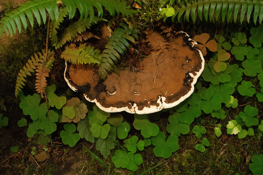 Fungus in the Temperate Rainforest of the Lower Queets Valley, Olympic National Park, Washington, US