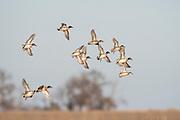 Green-winged Teal, Anas crecca carolinensis, Brown County, South Dakota