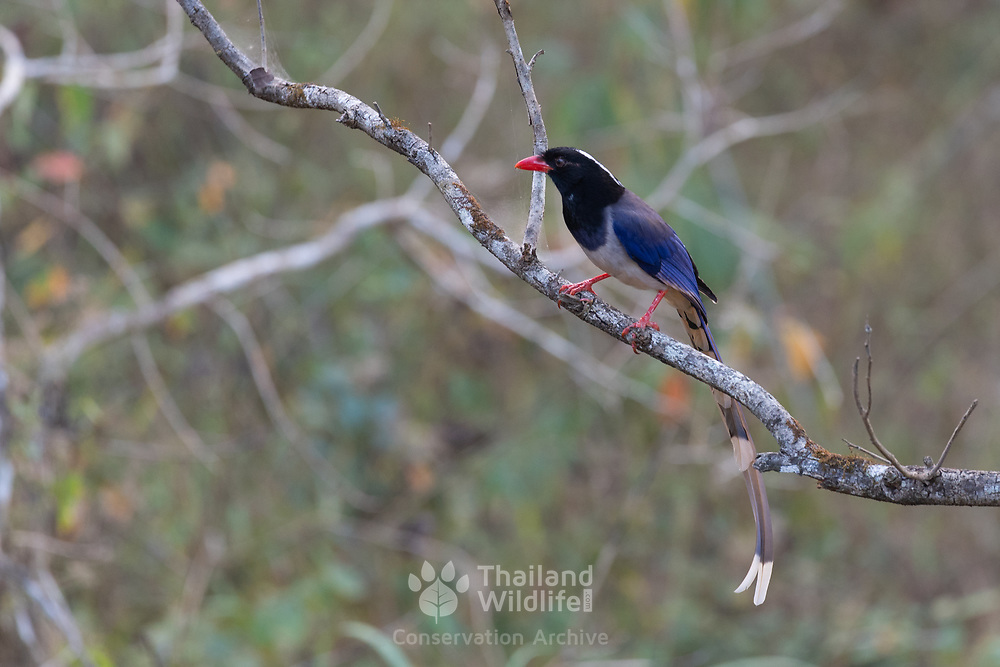 The red-billed blue magpie (Urocissa erythroryncha) is a species of bird in the crow family, Corvidae. It is about the same size as the Eurasian magpie but has a much longer tail, one of the longest tails of any corvid.