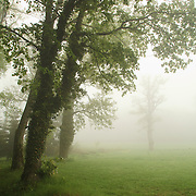 Trees in the mist, St. Dier d'Auvergne, les Martinanches, Auvergne, France