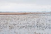 Lesser Scaup, Aythya affinis, Brown County, South Dakota