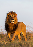 Big male lion (Panthera leo) from Maasai Mara, Kenya.