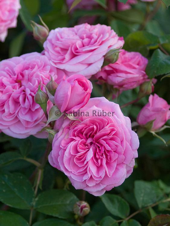 Rosa 'Gertrude Jekyll' - shrub rose - English Rose by David Austin