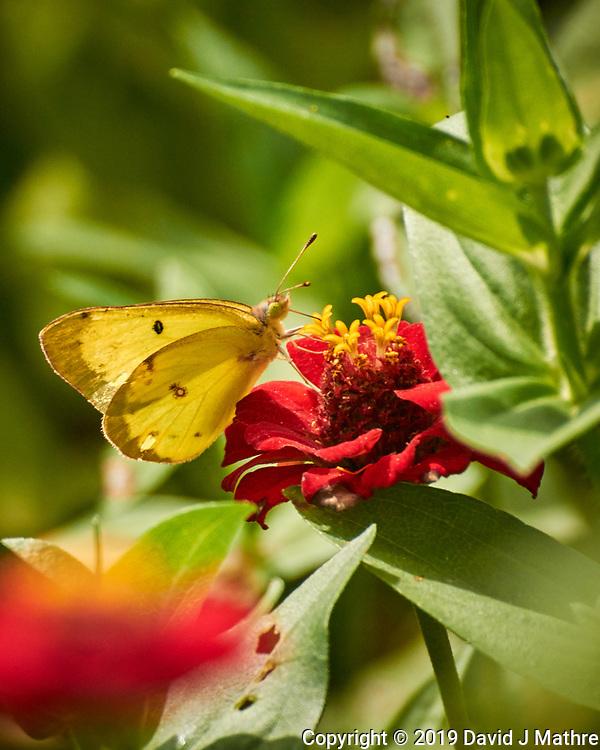 Orange Sulphur Butterfly. Image taken with a Nikon 1 V3 camera and 70-300 mm VR lens