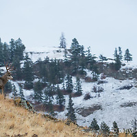 trophy mule deer buck looking over ridge into snowy pine mountain background