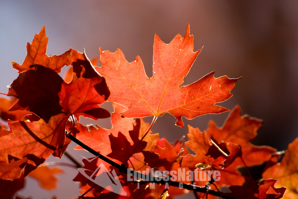 Oak leaves in the fall can range from colors like green and yellow this group is bright red.