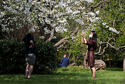 © Licensed to London News Pictures. 12/04/2020. London, UK. A woman wearing a face mask take photos of the cherry tree in Finsbury Park, north London during coronavirus lockdown. Over 10,000 people in the UK have died in hospitals due to COVID-19. Photo credit: Dinendra Haria/LNP