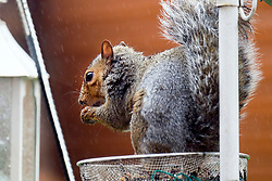 A Grey Squirrel (Scientific name Sciurus Carolinensison) Sits in the rain eating peanuts from Bird feeder in a British Suburban Garden<br />