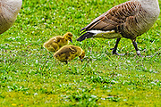 goslings walking with their parents