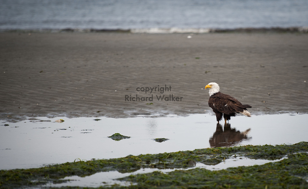 2013 July 22 - A bald eagle wades in a tide pool along the shore of Alki Beach, Seattle, WA, during low tide. By Richard Walker