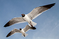 Laughing Gull - Larus atricilla - summer adults