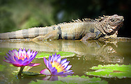 Iguana with water lily