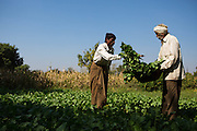 Dansingh and his father harvesting some vegetables on his farm, Sendhwa, India.<br /> <br /> Dansingh has recently made the switch from conventional cotton farming to organic.<br /> <br /> He can remember his father used to farm organic cotton.
