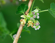 BLACK CURRANT Ribes nigrum (Grossulariaceae) Height to 2m. Deciduous shrub, found in damp woodlands and hedgerows. FLOWERS are greenish, bell-shaped and pendent; in clusters of up to 10 flowers (Apr-May). FRUITS are black berries. LEAVES are rounded, irregularly 5-lobed, stickily hairy and aromatic when bruised. STATUS-Locally common native plant but also widely naturalised.