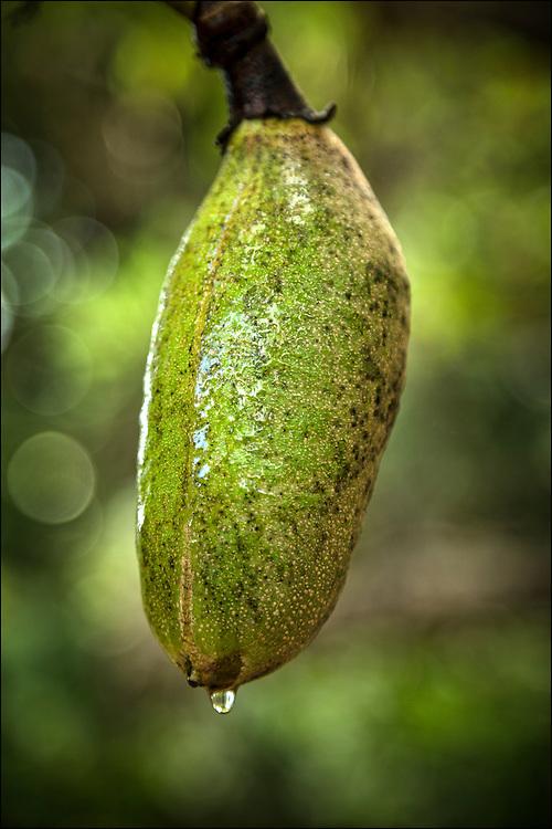Sausage Tree at Foster Botanical Garden in Honolulu, HI. ©PF Bentley