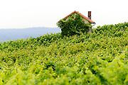 Weinberge, Groß-Umstadt, Hessen, Deutschland | Vineyards, Gross-Umstadt, Hesse, Germany