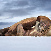 Walrus (Odobenus rosmarus) with a runny nose sleeping on ice, flipper covering his head