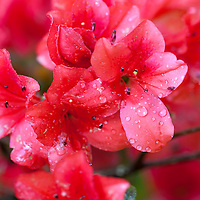 A late afternoon shower leaves droplets of water on the azaleas blossoms at Magnolia Plantation, Charleston, SC.