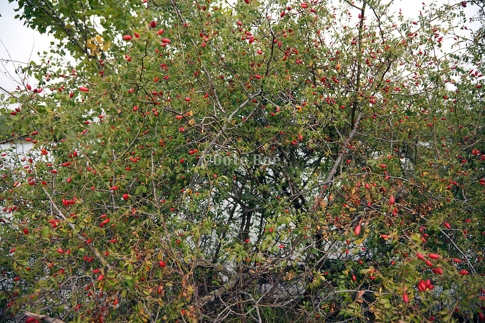 rosehips of Dog rose bush in late summer