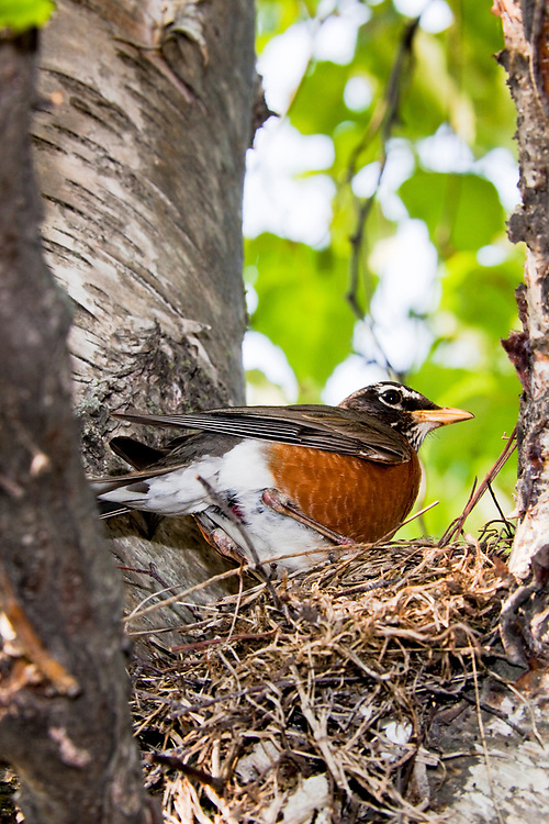 Adult male robin ( Turdus migratorius) attends a nest with newly hatched young in a suburban neighborhood of Anchorage, Alaska in July.