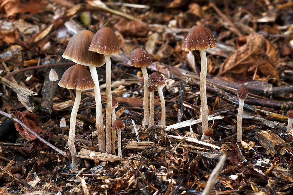 A group of Mycena mushrooms in the Fraser Valley of British Columbia, Canada