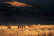 Virginia range Wild Horses Going to Water