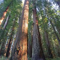 Sunlit redwood and ferns. Redwoods National Park, California