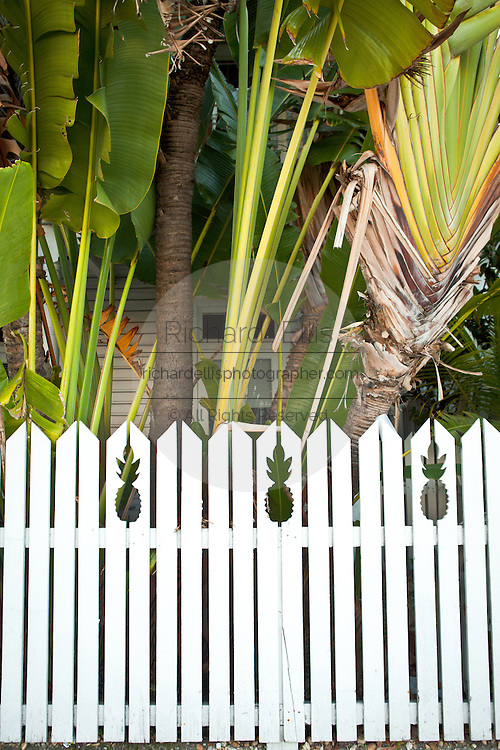 Bird of Paradise tree and white fence in Key West, Florida