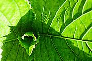 Ilustración y Grafismo. Texturas. Color Verde. Luces y Sombras. Maturaleza. Hoja. Nervios. Nervadura. Flora. 29-09-2009. Julio E. Foster©
