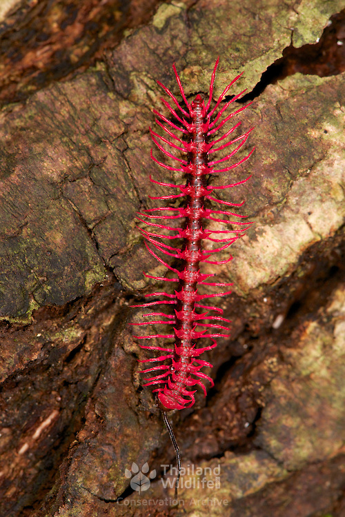 Shocking Pink Dragon Millipede (Desmoxytes purpurosea) is a spiny and toxic millipede aptly named for its bright pink color. It was discovered in Thailand in 2007. These adult millipedes are approximately 3 cm long and live in the open on leaf litter. The millipedes have glands that produce hydrogen cyanide to protect them from predators.
