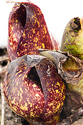 Skunk cabbage leaves and spathe, University of Wisconsin-Madison Arboretum