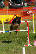 Belgian Tervuren competing in AKC agility event in upstate NY