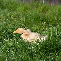 Nederland Berkel en Rodenrijs 15 april 2011 20110415 Voorjaar, piepjonge kuikentjes liggen in het gras in het zonnetje. Een van de kuikens neemt de benen, hij gaat achter een vlieg aan, vangt deze en snelt zich weer terug naar de andere kuikens. Foto: David Rozing