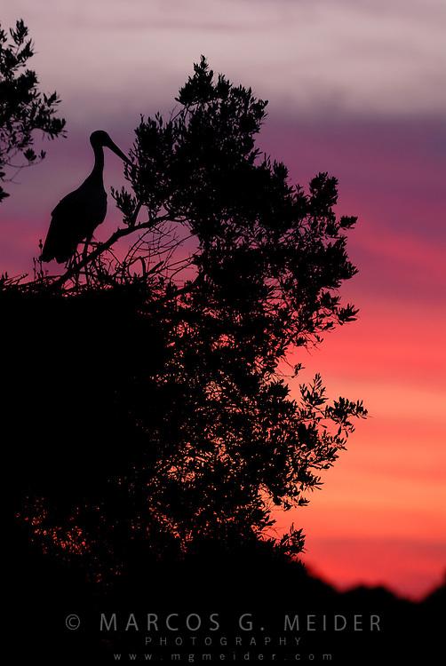 EN. White Stork, Ciconia ciconia, on top of nest at dusk. Do&ntilde;ana National Park, Andalucia, Spain.<br /> ES. Cig&uuml;e&ntilde;a blanca (Ciconia ciconia) en su nido al atardecer. Parque Nacional de Do&ntilde;ana, Andaluc&iacute;a, Espa&ntilde;a.