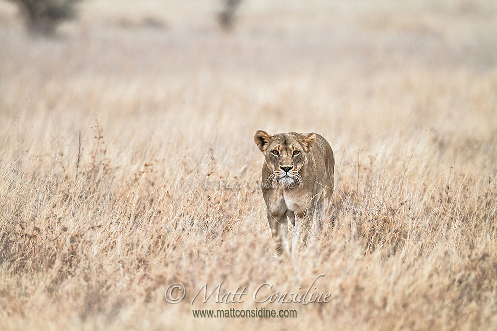 A hungry lioness standing in long dry grass, Kenya, Africa (by Wildlife Photographer Matt Considine)
