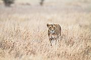 A hungry lioness standing in long dry grass, Kenya, Africa (by Wildlife Photographer Matt Considine)