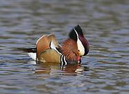 Mandarin Duck - Aix galericulata - displaying male