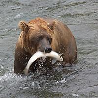 USA, Alaska, Katmai. Grizzly Bear with salmon at Brooks Falls, Katmai National Park.