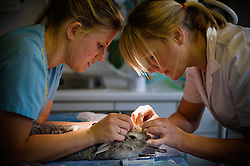 Veterinary nurse and surgeon tend to a pet rabbit, Arnwood Veterinary Surgery, Nottingham, England, UK.