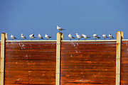 A flock of seagulls resting near the Mediterranean sea. Photographed in tel Aviv, Israel