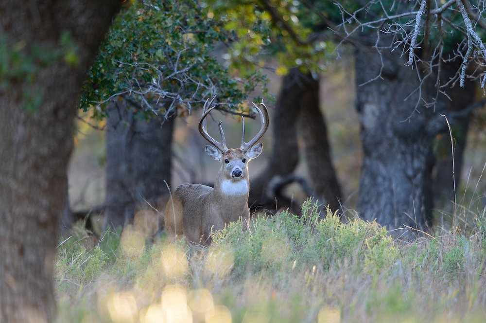 White-tailed Buck (Odocoileus virginianus), Southern Great Plains, USA